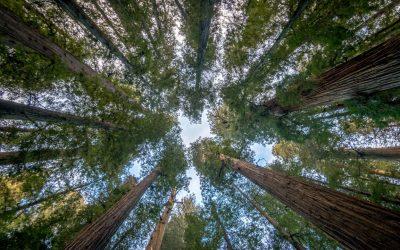 Redwoods NP [USA 2016 – 18/20]
